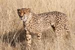 Acinonyx jubatus